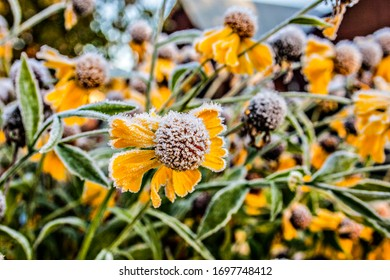 Background with yellow flowers in hoarfrost. Spring camomiles.