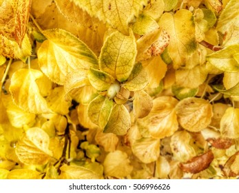 Background of Yellow Gold Hydrangea plant on the wall in the autumn. I love autumn.