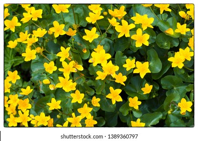 Background of yellow Marsh Marigold in a frame. Marsh Marigold (Caltha palustris); also known as Cowslip, Yellow Marsh Marigold.