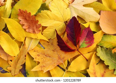 Background of yellow and red leaves. Autumn.