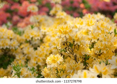 background with yellow rhododendron in park