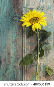 Background with yellow sunflower on old wooden boards with peeling paint. Space for text. Vertical.