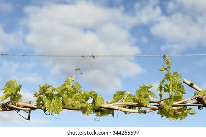 Background Young Grape Vine Leaves Cloudy Sky