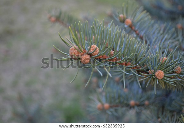 Background of young pine branches