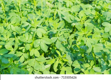 Background of the young stems with leaves of alfalfa covered with dew drops on field at summer morning