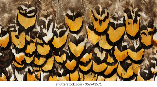 Backgrounds of birds feathers. Pheasant feathers. Tribal animal background texture