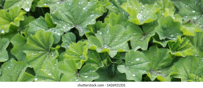Backgrounds: Leafy Chrysanthemum Bush After a Hard Rain, Frisco, CO/USA (June 17, 2019)