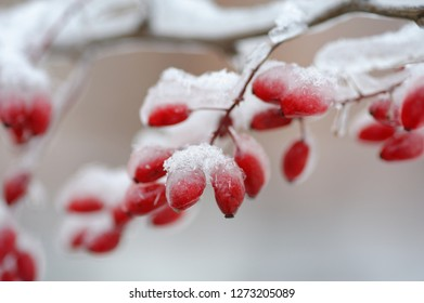 Backgrounds and texture: red frozen barberries covered with ice and snow