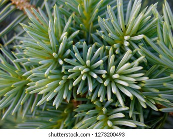 Backgrounds and textures: bunch of pine tree needles, closeup shot, seasonal abstract