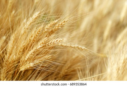 Backgrounds and textures: field of golden wheat, agricultural abstract