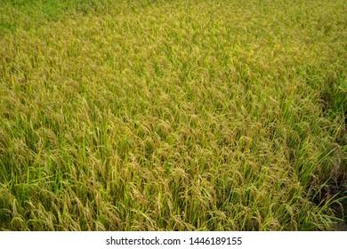 Backgrounds Textures Golden rice fields in Thailand