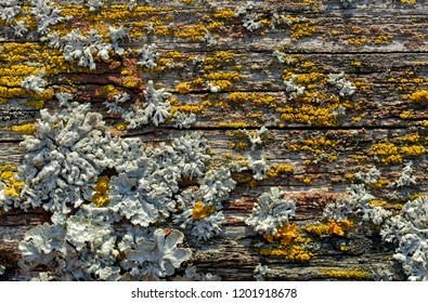 Backgrounds and textures: old cracked wooden plank covered with lichen and moss, nature abstract