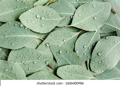 Background/Texture made of green eucalyptus leaves with raindrop, dew. Flat lay, top view - Shutterstock ID 1606400986