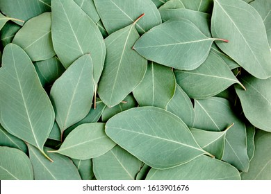 Background/Texture made of green eucalyptus leaves. Flat lay, top view
