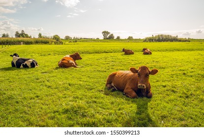 Backlight image of quietly ruminating cows in a Dutch meadow. It is still sunny now but the rain nearly begins to fall.
