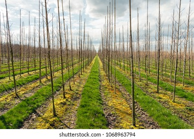 Backlight photo of long rows of young trees supported by bamboo sticks in a large tree nursery in the Netherlands. Some trees are crooked. It is a cloudy day in the beginning of the spring season.