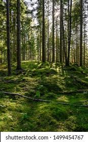 backlight through swedish forest in Varmland Sweden