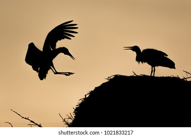 Backlight of a white stork arriving at nest. Taken at sunset with a nice orange sky background. Madrid, Spain.