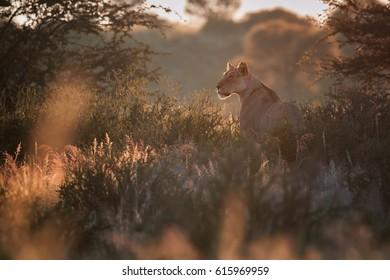 Backlighted lioness, Panthera leo vernayi, Kalahari lion, in typical environment of Kalahari desert covered in long grass,few minutes before sunset. Lion in  arid desert landscape. Kgalagadi, Botswana