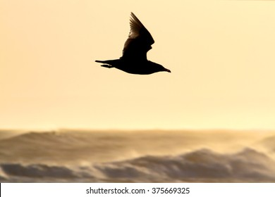 Backlit 1st Winter Glaucous Gull (Larus hyperboreus) in flight in the evening light. Scarce visitor to Westhaven, the Angus Coast, Scotland.