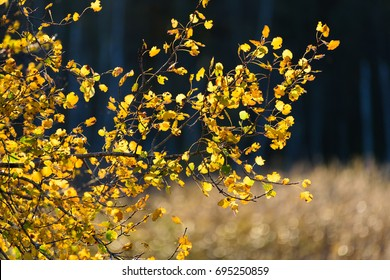 Backlit Autumn foliage in golden light at beginning of October 2016 in Espoo, Finland. Colorful mostly yellow Aspen leaves at the sunset time with the darker forest on the background.
