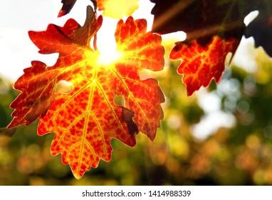 Backlit big red grape leaf in vineyard