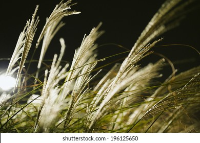 Backlit Blowing Grass at Night With Shallow Depth of Field