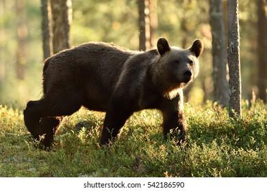 Backlit brown bear walking in backlit at summer