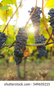 Backlit bunches of Pinot Noir wine grapes hanging from the vine on a sunny day right before harvest