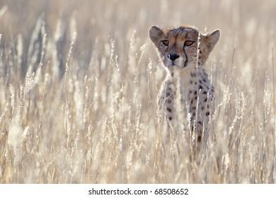 Backlit Cheetah