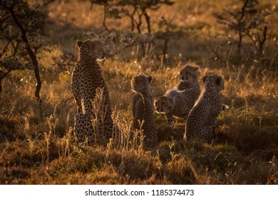 Backlit cheetah sitting with cubs at dusk