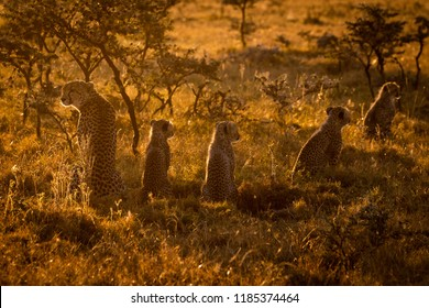 Backlit cheetah sitting with cubs at sunset