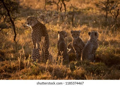 Backlit cheetah sitting with family at sunset
