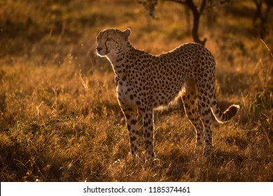 Backlit cheetah standing in grass at sunset
