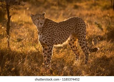 Backlit cheetah stands in savannah at sunset