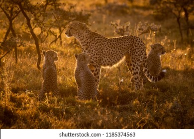 Backlit cheetah with three cubs at sunset
