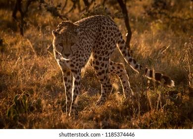 Backlit cheetah turning towards camera at sunset