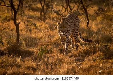 Backlit cheetah walking towards camera at sunset