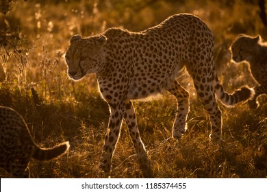 Backlit cheetah walks with cubs at sunset