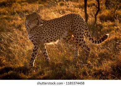 Backlit cheetah walks in grass looking back