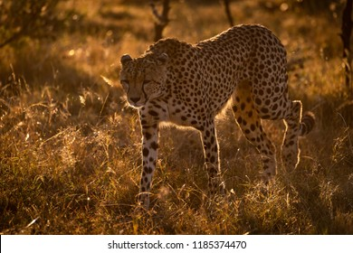 Backlit cheetah walks in savannah at sunset