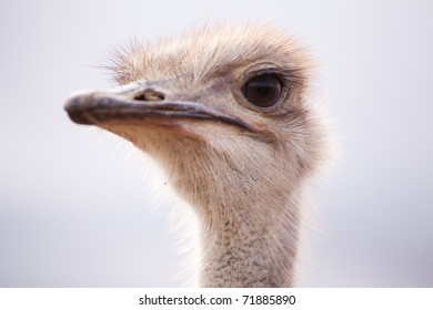Backlit close-up portrait of a single ostrich in field