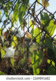 Backlit convolvulus 'devils guts' or bindweed leaves and buds against a wire fence, London