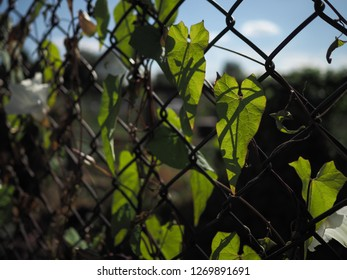 Backlit convolvulus 'devils guts' or bindweed leaves against a wire fence, London