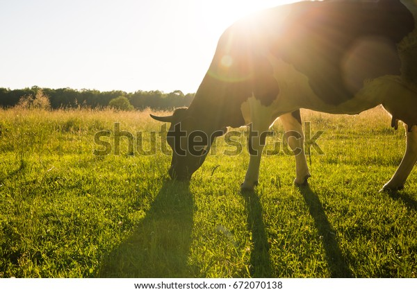 Backlit cow grazing in a field at sunset.