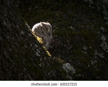 Backlit eurasian scops owl (Otus scops) on a tree in the forest