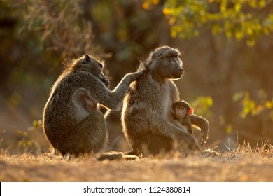Backlit family of chacma baboons (Papio ursinus), Kruger National Park, South Africa