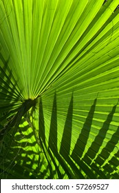 Backlit fan palm leaf showing a silhouette of another leaf