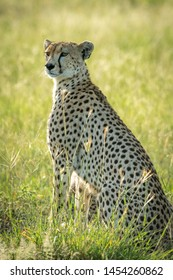 Backlit female cheetah sits in tall grass
