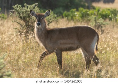 Backlit female waterbuck crosses grass in sunshine